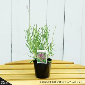 ●品種の特徴 わい性種なのでコンパクトに生長します。鉢植えにお勧めのラベンダーです!6月の終わりから...