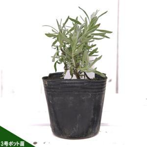 ●商品の特徴  長い花茎がまっすぐに伸び、青紫色の花を咲かせます。葉はコンパクトに茂ります。 比較的...