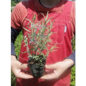 ●品種の特徴 ラベンダーの代表品種です。開花期には60〜80cmにほどになり、3〜7cmの芳香のある...