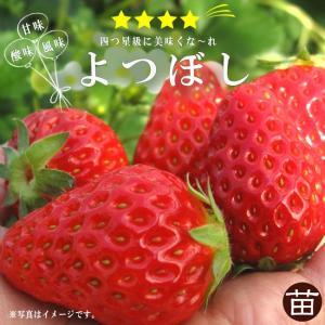 いちご 苗 四季成り性 よつぼし 3号ポット苗 イチゴ 苺 予約販売9月末頃入荷予定