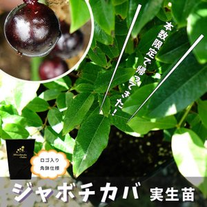 熱帯果樹  四季成り ジャボチカバ 2年生 実生苗 果樹 果...