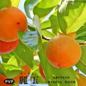【 柿 苗木 :完全甘柿】 麗玉 (レイギョク) 1年生 接ぎ木苗 果樹