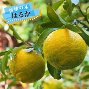 柑橘類 苗木 はるか 2年生 接ぎ木 苗 果樹