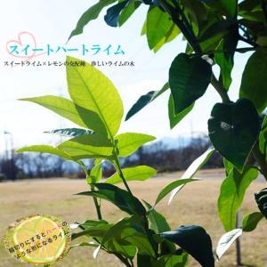 柑橘類 苗木 珍しいライムライム 苗 柑橘スイートハートライム2年生 接ぎ木 果樹 果樹苗
