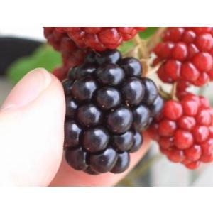 トゲなし ブラックベリー ジャンボブラックベリー ポット苗 果樹
