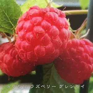 トゲなし ラズベリー グレンモイ 鉢苗  果樹 果樹苗 キイチゴ 苗 強健 初心者おすすめ 新品種 果物