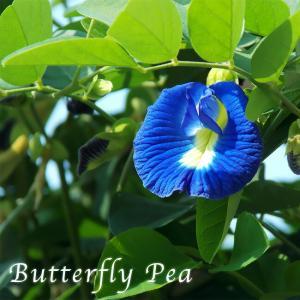 ●商品の特徴   タイでは庭先や公園などでも自生している比較的ポピュラーな植物で、花の形が蝶(バタフ...