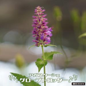 ●品種の特徴 シソ科の宿根草で初夏〜夏にかけてライラックピンク色の花を咲かせます。葉には爽やかな芳香...