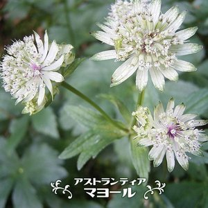 ●品種の特徴 セリ科の宿根草でヨーロッパからアジア原産です。初夏から夏にかけて緑がかった白色の花を咲...