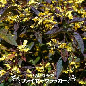 ●品種の特徴 サクラソウ科の宿根草で春から初夏にかけて黄色の小花を沢山咲かせます。赤紫色の葉はカラー...