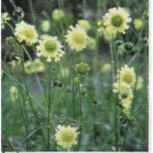 ●品種の特徴 別名「ジャイアント スカビオサ」と言われ、草丈は約2mくらいまで生長する、見応えある宿...