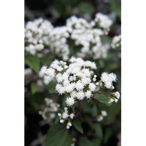 キク科の宿根草で紫がかった濃い赤銅色の葉にアゲラタムに似た白い小花をたくさん咲かせます。日本のフジバ...