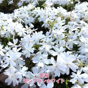 芝桜 ( シバザクラ ) モンブランホワイト 3号ポット苗 宿根草 苗