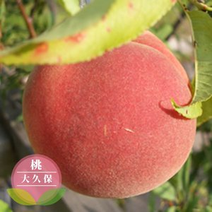 桃 苗木 大久保 ( おおくぼ ) 1年生 接ぎ木 苗 果樹...