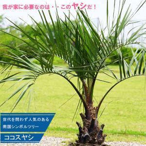 ココスヤシ 0.7m 大苗常緑樹 観葉植物 インテリアプランツ 耐寒性