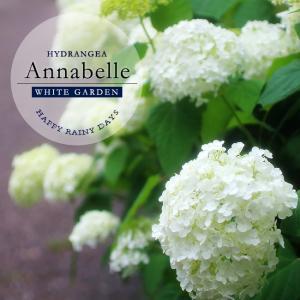 ●品種の特徴 生育旺盛で、花房が大きく、手毬状に咲きます。ホワイトガーデンには欠かせない代表植物です...