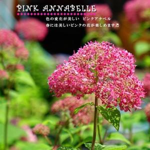 ●品種の特徴 【新品種】 【新枝咲きタイプ】 アメリカアジサイのアナベルのピンク花品種。手毬型の大き...