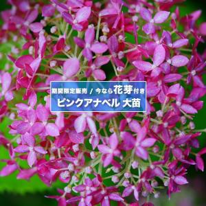 ●商品の特徴 【花芽付き】 人気のピンクアジサイが花芽付きで期間限定販売! 文字どおり、「ピンク色の...