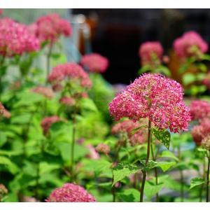 花芽付きあじさい 大苗 ピンクアナベル アメリカアジサイ ポット大苗 アジサイ|hanahirobaonline|02