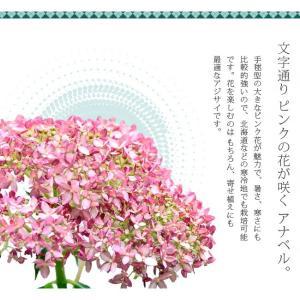 花芽付きあじさい 大苗 ピンクアナベル アメリカアジサイ ポット大苗 アジサイ|hanahirobaonline|05