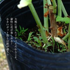 花芽付きあじさい 大苗 ピンクアナベル アメリカアジサイ ポット大苗 アジサイ|hanahirobaonline|07