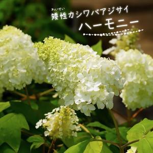 ●品種の特徴 白花で三角錐のアジサイとは思えない豪華な花型をしています。わい性品種でピラミッド型の花...