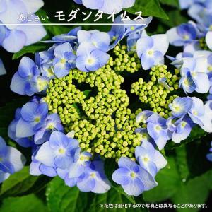 ●品種の特徴 ヤマアジサイと西洋アジサイの交配改良品種。丈夫で育てやすい紫陽花です。モダンタイムスは...