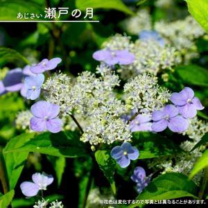 ●商品の特徴  瀬戸の月(セトノツキ)は、コガクウツギとヤマアジサイの自然交雑種で、一重咲き・ガクタ...