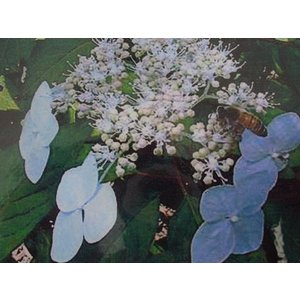 ●品種の特徴 飾り花、両性花とも白でやや細葉。 シンプルな白のガクアジサイです。 ●お届けについて ...