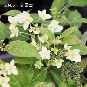 ●品種の特徴 可憐な白のあじさい。中心が緑がかる装飾花。咲き進むにつれ純白になります。美しい八重咲き...