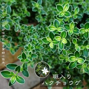 ●商品説明  常緑で、花が咲く木といえばこれって感じの品種です。5月頃かわいらしい小花をたくさん咲か...