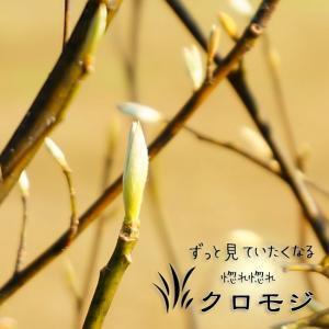 クロモジ(黒文字) 株立ち苗 庭木