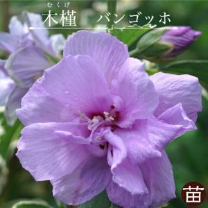 ●商品の特徴  ライラック色の花が咲く八重咲きのムクゲです。夏から秋まで咲き続けます。ムクゲでは珍し...