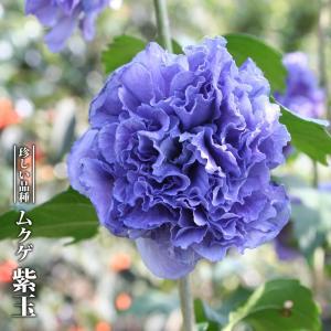 ムクゲ 紫玉 3.5号ポット苗 ハナヒロバリュー