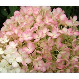 """●商品の特徴ノリウツギ""""リトルホイップ""""(ボボ)はコンパクトにまとまる矮性の最新品種です。花が大きく..."""