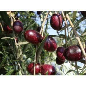 小豆島産  オリーブの木  マンザニロ 3年生大苗  オリーブ 苗 苗木 特別