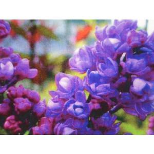 品種の特徴 赤紫色からピンクへ変化する八重咲き品種です。別名:「ムラサキハシドイ」「リラ」とも呼ばれ...