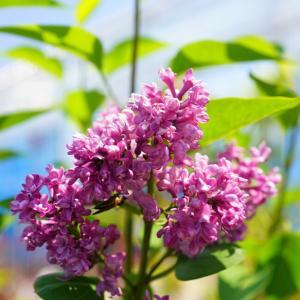 ●品種の特徴 紫青〜紫花の八重咲き品種。ライラックは別名「ムラサキハシドイ」「リラ」とも呼ばれます。...