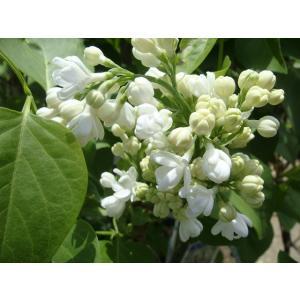 ●品種の特徴白花品種。別名:「ムラサキハシドイ」「リラ」とも呼ばれます。寒さに強い落葉樹です。あまり...