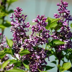 ●品種の特徴 赤(紫)花新品種。白の覆輪が楽しい花です。ライラックは別名「ムラサキハシドイ」「リラ」...