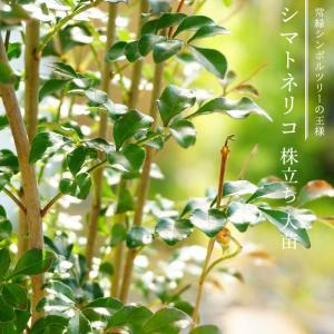 シマトネリコ 株立ち大苗 【西濃運輸お届け】 (北海道、沖縄、離島不可)