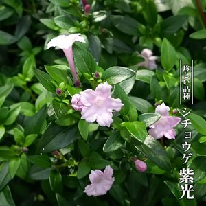 【ハナヒロバリュー】 シチョウゲ (紫丁花) 紫光 3.5号ポット苗