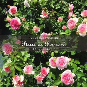 バラ苗 ピエールドゥロンサール 7号スリット大苗 バラ苗木 つるバラ 国産苗