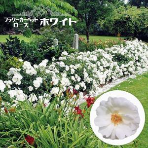バラ苗 フラワーカーペットローズ ホワイト ポット苗予約販売...