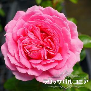 バラ苗 ラリッサ バルコニア 大苗  木立バラ 四季咲き