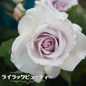 ●苗木は6号ポットに仮植されて販売します。ポットも含め高さ約0.3m位です。バラ入門者向けです。  ...