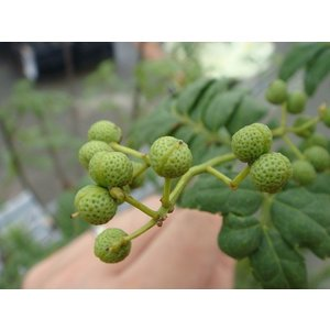 山椒 苗 トゲなし実サンショウ朝倉山椒 1年生 接ぎ木 苗 木の芽