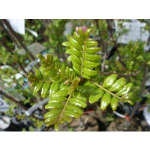 山椒 苗 葉サンショウ 1年生実生苗 果樹 木の芽