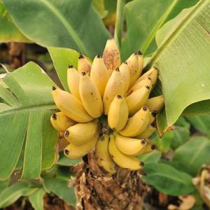 矮性バナナ「ドワーフモンキーバナナ苗」を販売  幹高60〜80cmほどから実る極矮性バナナです。生長...