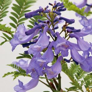 世界三大花木の1つ、わい性ジャカランダ「ブルーブロッサムビューイング」の苗木を販売。 わい性ジャカラ...